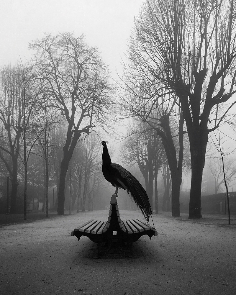 Animals-Diogo Lage-The Proud Peacock.jpg