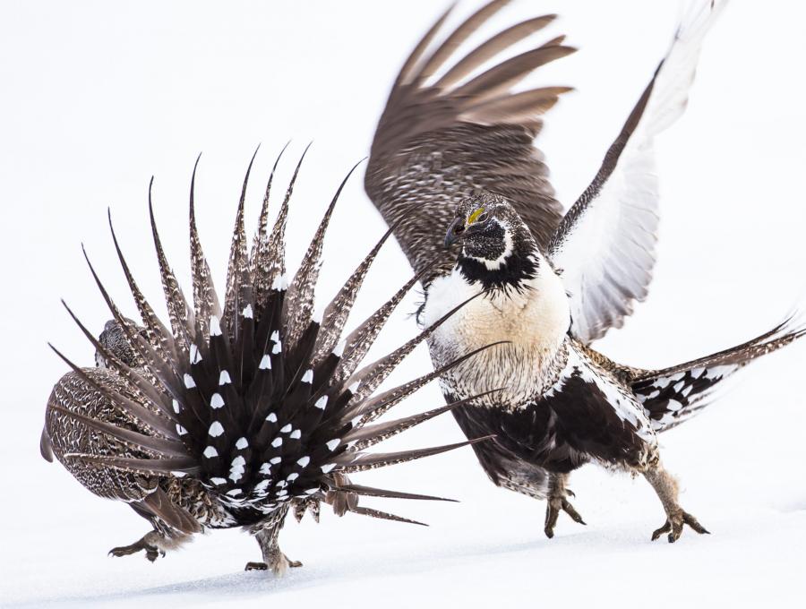 img 1566986796 66278@900 - 吐着烟圈的红翅黑鹂,跟狐狸抢猎物的秃鹰!2019 鸟类摄影奖公布,每一只都抢镜