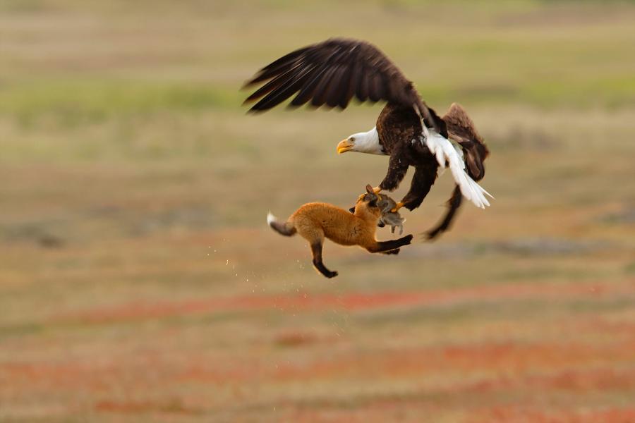img 1566986810 70399@900 - 吐着烟圈的红翅黑鹂,跟狐狸抢猎物的秃鹰!2019 鸟类摄影奖公布,每一只都抢镜