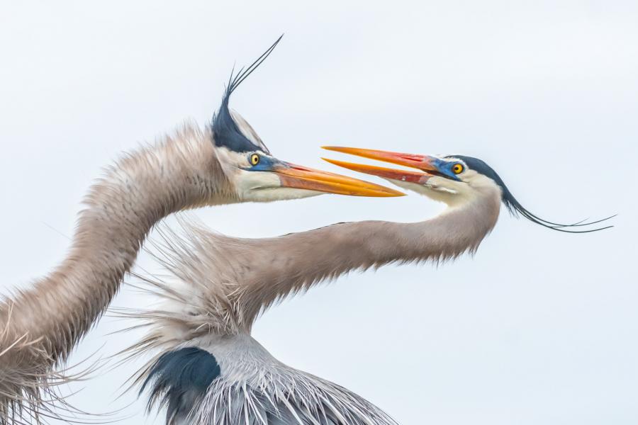 img 1566986833 38496@900 - 吐着烟圈的红翅黑鹂,跟狐狸抢猎物的秃鹰!2019 鸟类摄影奖公布,每一只都抢镜