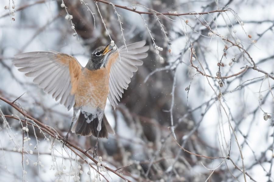 img 1566988571 17028@900 - 吐着烟圈的红翅黑鹂,跟狐狸抢猎物的秃鹰!2019 鸟类摄影奖公布,每一只都抢镜