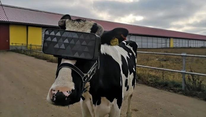 莫斯科農民為什麼要幫乳牛戴上VR眼鏡?