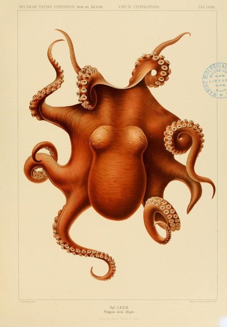 img 1590660043 47271@900 - 吸血乌贼、发光鱿鱼,百年前的古插画修复,揭开深海 3 千英尺下的神秘世界!