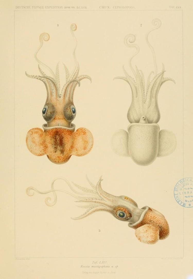 img 1590660052 86413@900 - 吸血乌贼、发光鱿鱼,百年前的古插画修复,揭开深海 3 千英尺下的神秘世界!