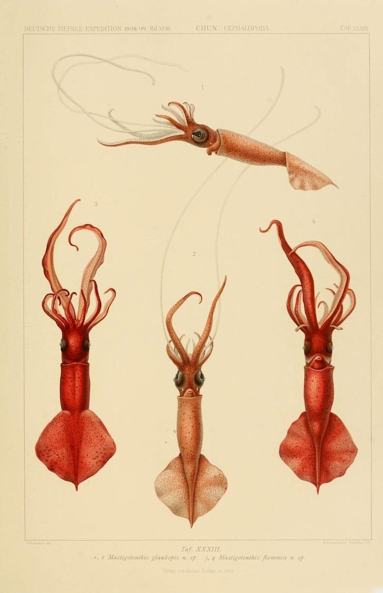 img 1590660061 75338@900 - 吸血乌贼、发光鱿鱼,百年前的古插画修复,揭开深海 3 千英尺下的神秘世界!
