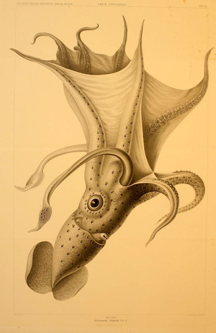 img 1590660064 39414@900 - 吸血乌贼、发光鱿鱼,百年前的古插画修复,揭开深海 3 千英尺下的神秘世界!