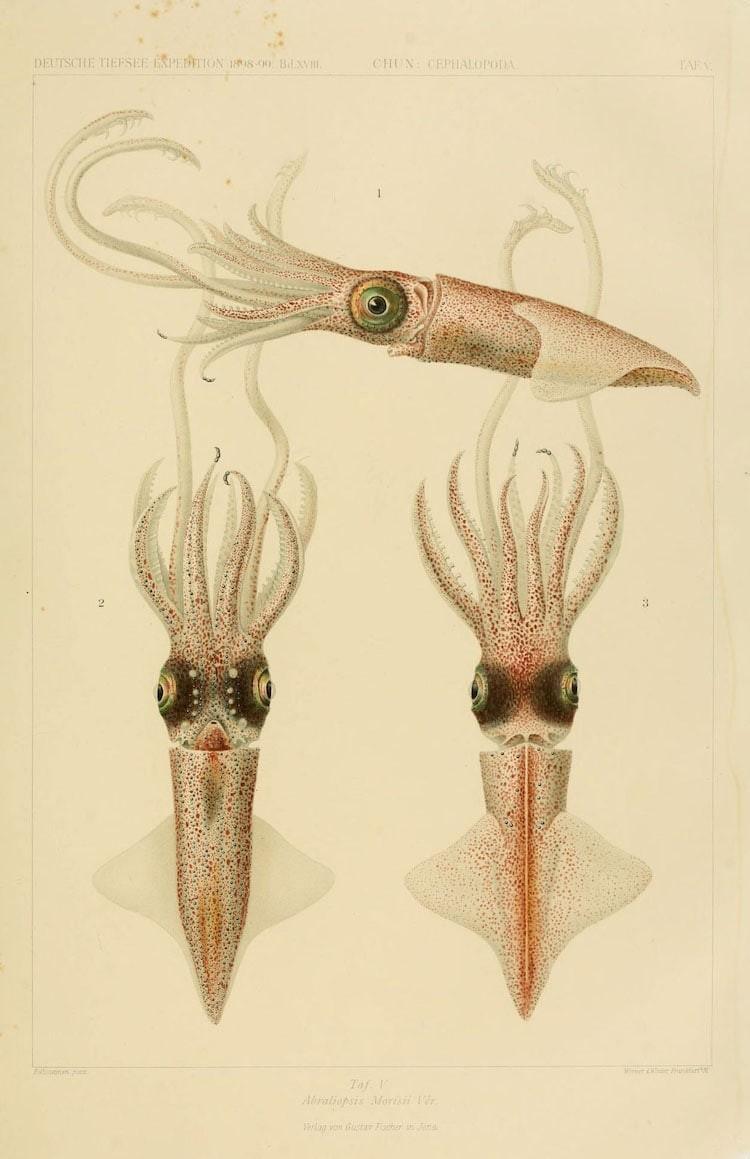 img 1590660074 86142@900 - 吸血乌贼、发光鱿鱼,百年前的古插画修复,揭开深海 3 千英尺下的神秘世界!