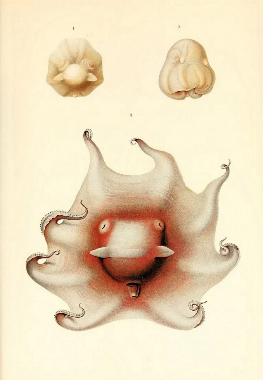 img 1590660077 72669@900 - 吸血乌贼、发光鱿鱼,百年前的古插画修复,揭开深海 3 千英尺下的神秘世界!