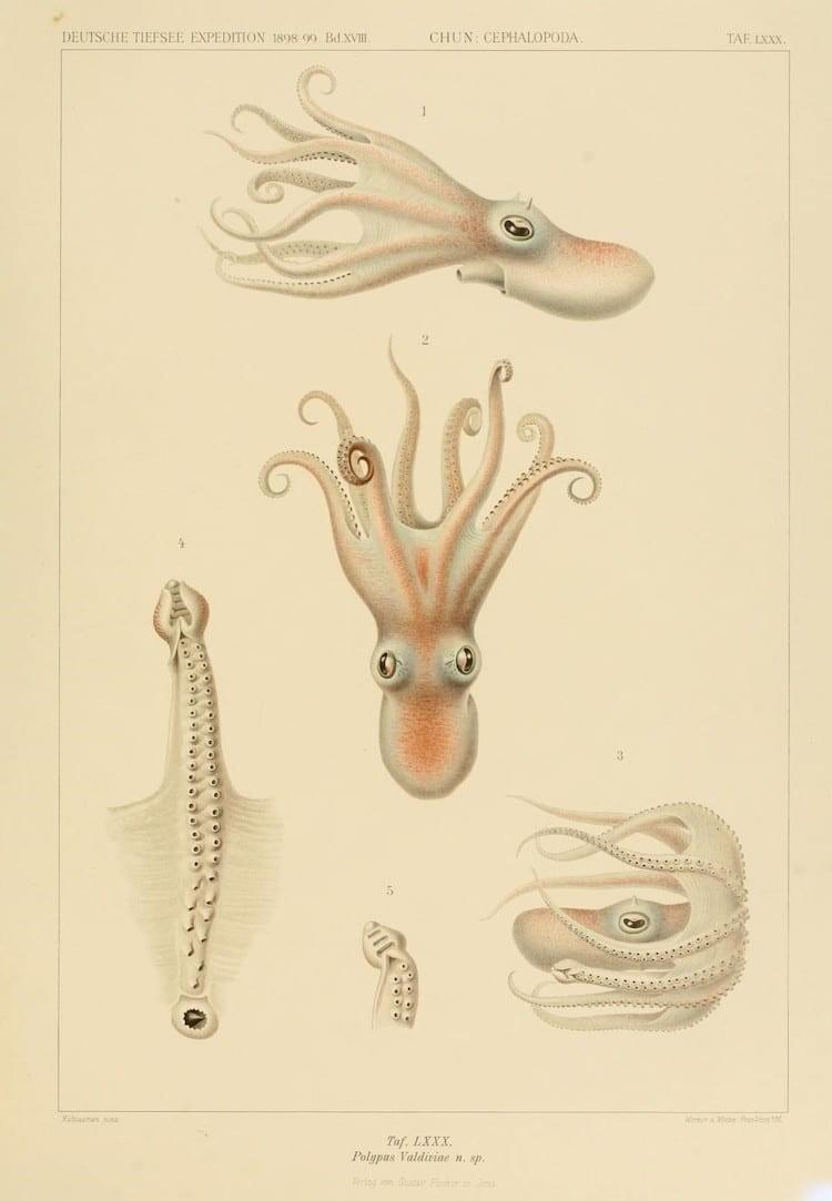 img 1590660082 27531@900 - 吸血乌贼、发光鱿鱼,百年前的古插画修复,揭开深海 3 千英尺下的神秘世界!
