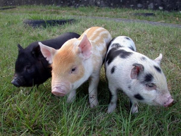 大圖1-3蘭嶼豬、畜試迷彩豬、畜試花斑豬-農委會畜產試驗所-1024x768