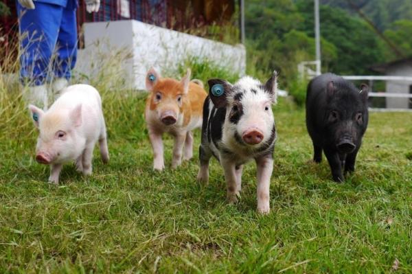 大圖1-2小豬-農委會畜產試驗所S-1024x682